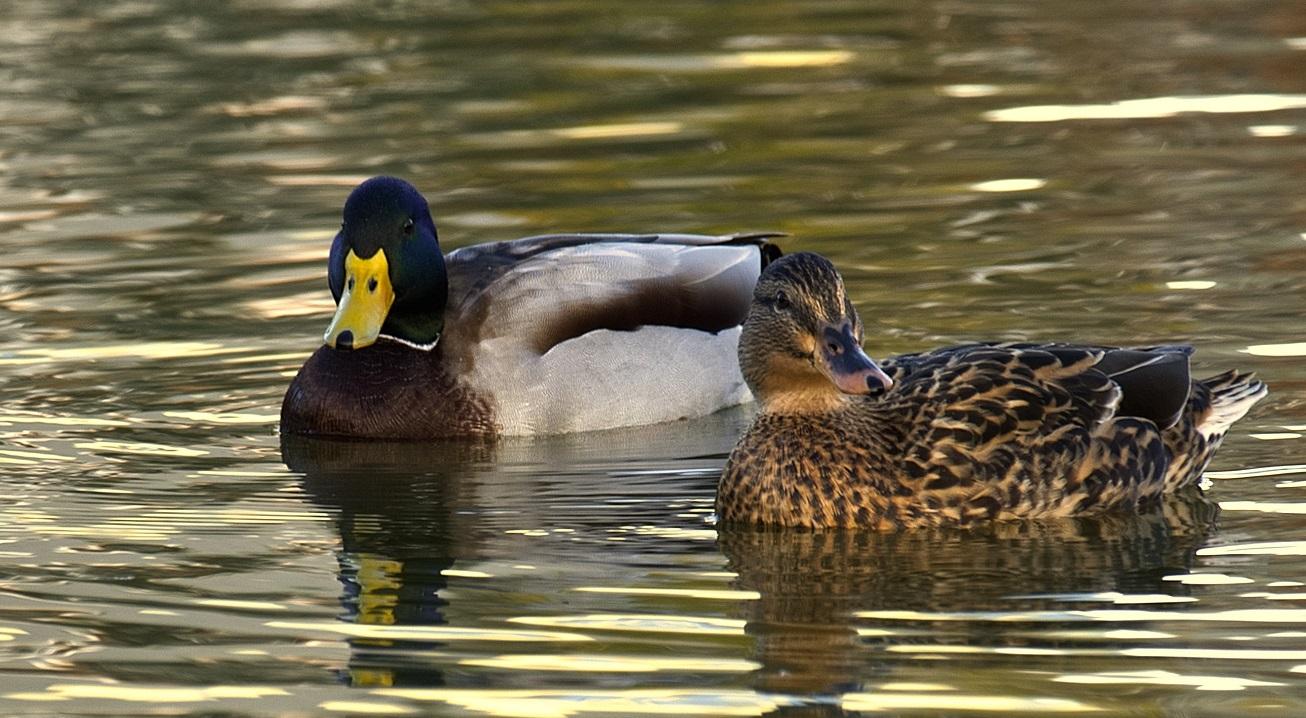 Pair of Mallard Ducks in Ontario
