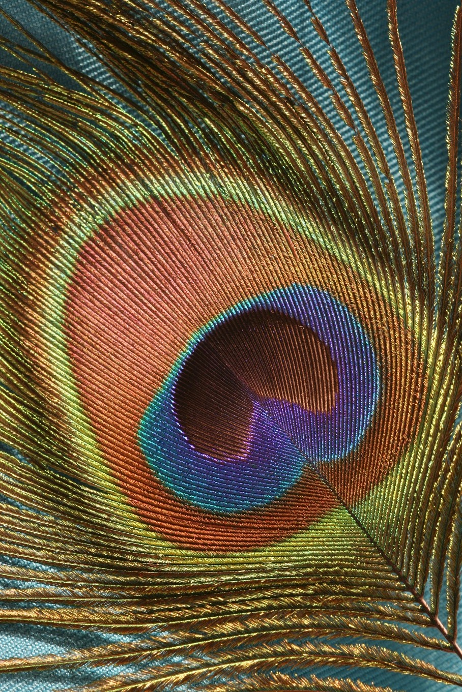 peacock tail feather
