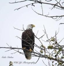 Bald Eagle seen in Iron Bridge Ontario