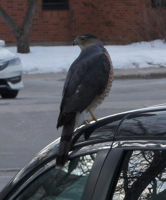 Hawk in Oakville Ontario