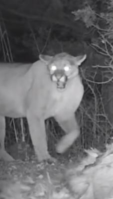 possible sightings of Cougars trail-cam cougar