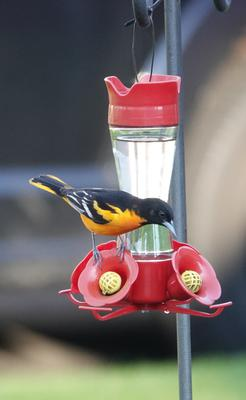 Baltimore Oriole at hummingbird feeder, Oshawa, Ontario