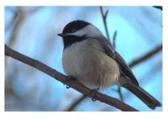 Winter Chickadee in Ontario Canada