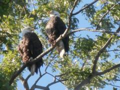 two Bald Eagles in a tree in St Marys Ontario