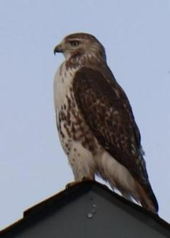 is this a Cooper's Hawk