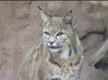 Bobcat in Ontario