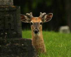White Tailed Deer by Aaron Blanshard, taken in southern Ontario