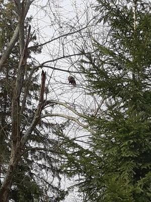Bald Eagle in New Tecumseth