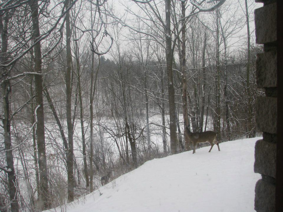 White tailed deer in the snow, St Thomas, Ontario