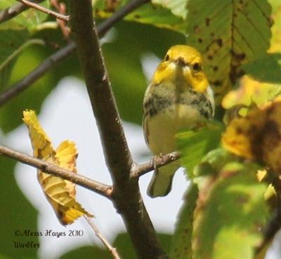 unknown yellow warbler on branch
