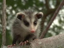 Little possum in a tree