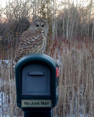 Stouffville Owl
