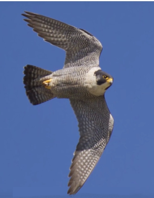 The amazing Peregrine Falcon in Ontario