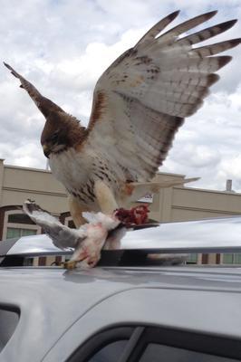Bird of prey enjoying lunch