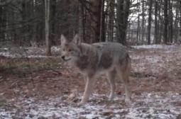 Ontario Coyotes near Ballantrae