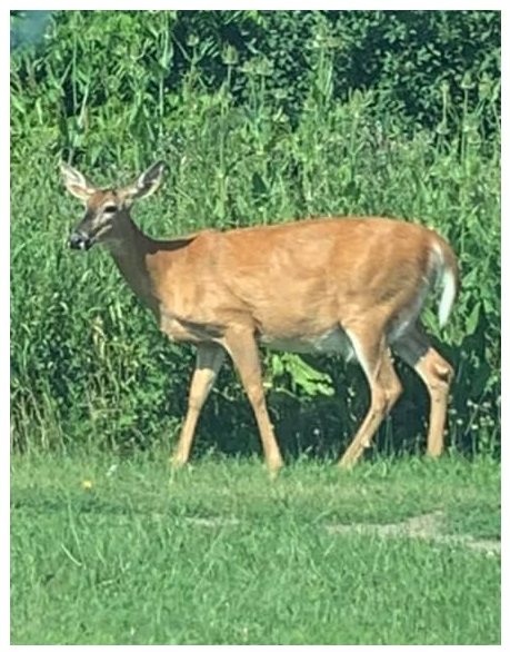 Sam's picture of white tailed deer in St Thomas