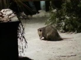 Possum in Toronto Ontario