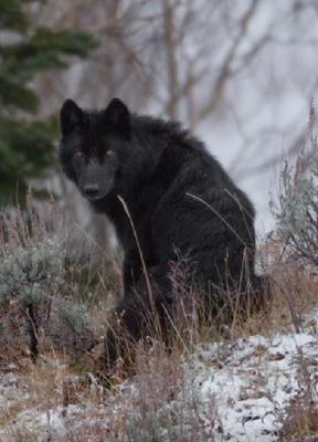 Wolves or Coywolves across Ontario