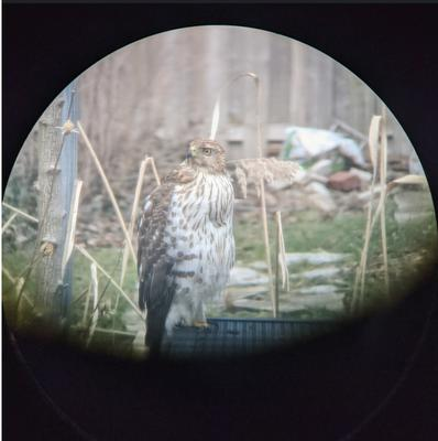 Possible young Cooper's Hawk in Hamilton Ontario