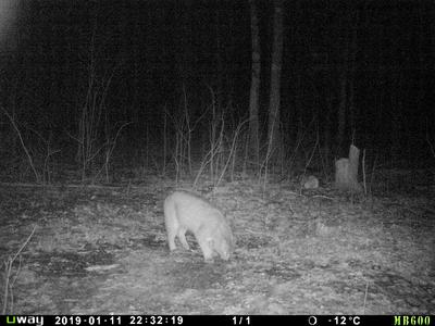 trailcam picture of bobcat in Ontario