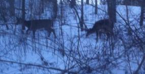 White Tailed Deer beside my house