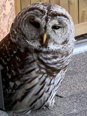 Owl sighted in Richmond Hill, Ontario