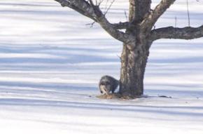 Possum in Quinte west  Ontario
