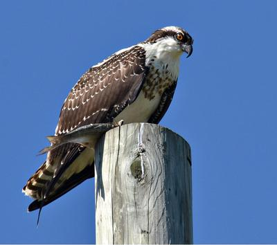Ospreys in London Ontario