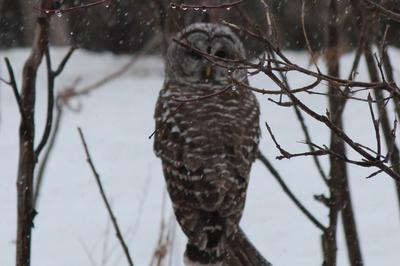 new-found owl friend, great grey owl