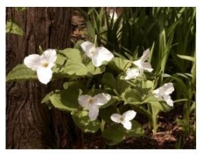 Trillium in Spring in Ontario