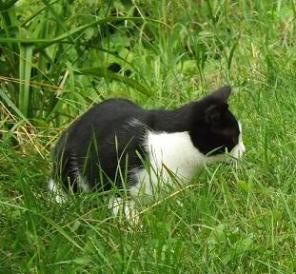Domestic short-hair cat