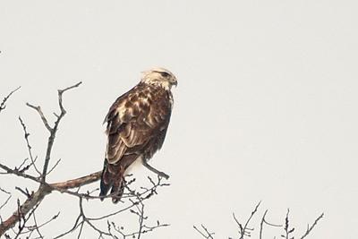 3 yr Bald Eagle