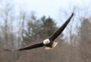 Ontario Bald Eagle on Maitland River