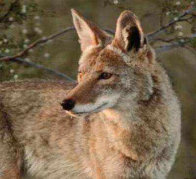 Coyote Ontario