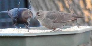 what kind of bird is this - could be a Cowbird