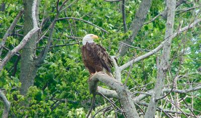 St Thomas Bald Eagle