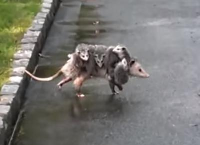 Possum sightings in Ontario