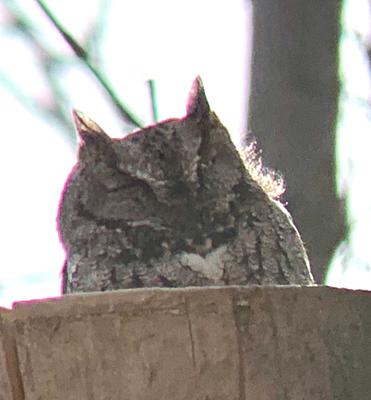 Screech Owl in Waverly Woods, Ontario