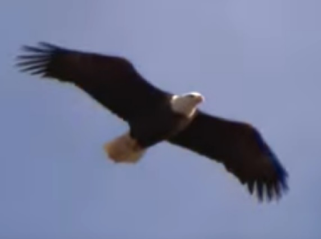 Bald Eagle in flight soaring against a blue sky background