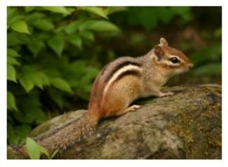 Eastern Chipmunk of Ontario sitting on a rock