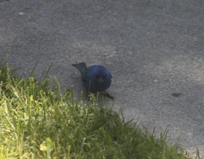 Indigo Bunting on the sidewalk