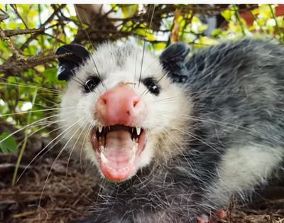 The possum barring it's teeth in Ontario