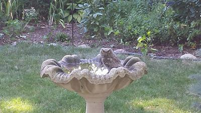 Small grey Owl at the bird bath in Ontario