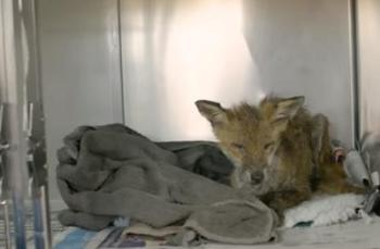 The fox in Ontario suffering from mange
