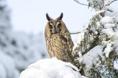 Long-eared Owls in Ontario
