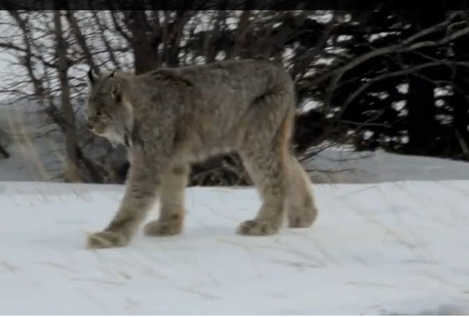 be1cc91a45707 Another of the Big Cats in Ontario is the Canadian Lynx which lives mainly  in northern woodlands where its main diet is the snowshoe hare