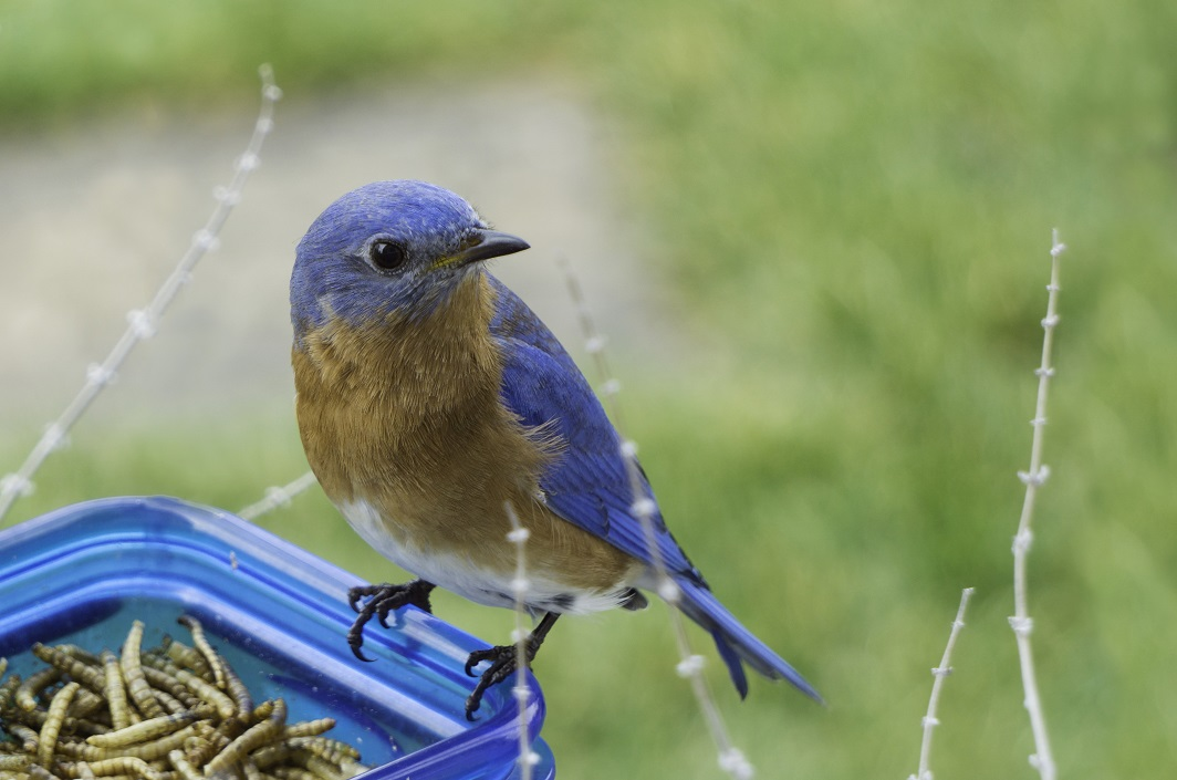 Little Eastern Bluebird sitting on a container of mealworms