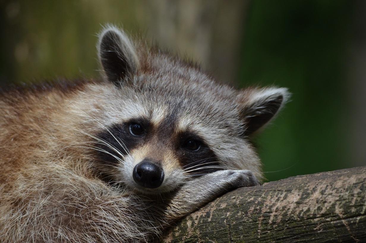 Raccoon resting on a log looking sleepy