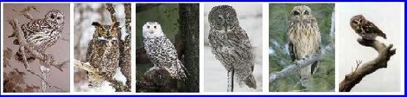 Great Horned Owl, Snowy Owl, Great Grey Owl, Short Eared Owl, Screech Owl