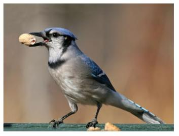 Blue Jay with a peanut to eat